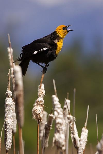 Yellow-headed Blackbird calling from cattails