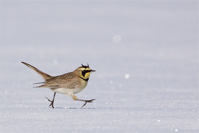 Horned Lark running across freshly fallen snow
