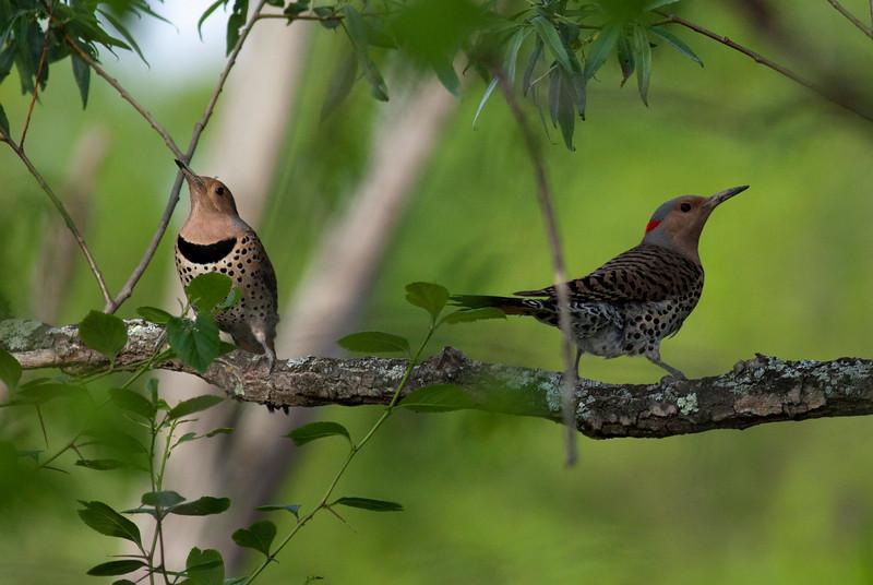 Northern Flicker Woodpecker pair