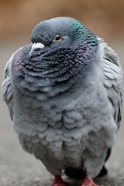 Rock Pigeon, Adult, Black Moshannon State Park