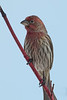 House Finch, Male, Canoe Creek State Park