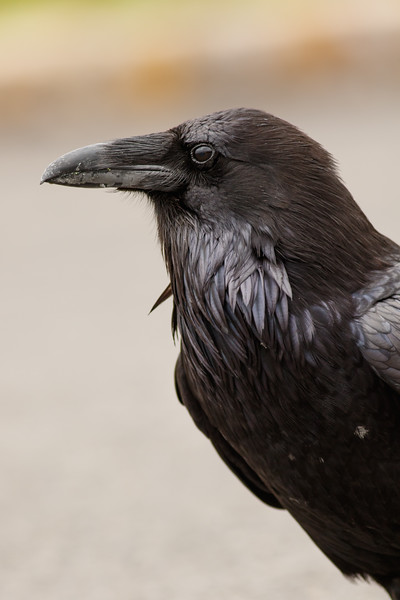 Common Raven, Yellowstone National Park