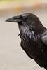 Common Raven, Yellowstone National Park