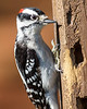 Downy Woodpecker, Adult male, Canoe Creek State Park