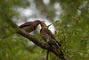 Northern Flicker Woodpecker pair