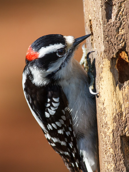 Downy Woodpecker, Adult male, Canoe Creek State Park