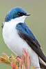 Tree Swallow, Adult male