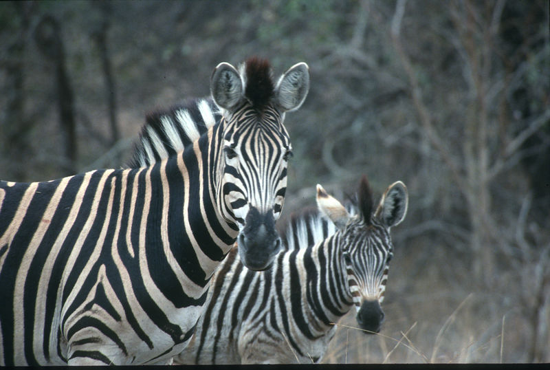Zebra and foal, Mala Mala