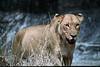 Lioness at Mala Mala
