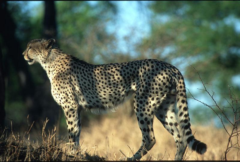 Cheetah at Mala Mala