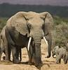 Male elephant, Addo Elephant Park