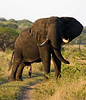 Male ! elephant at Tembe