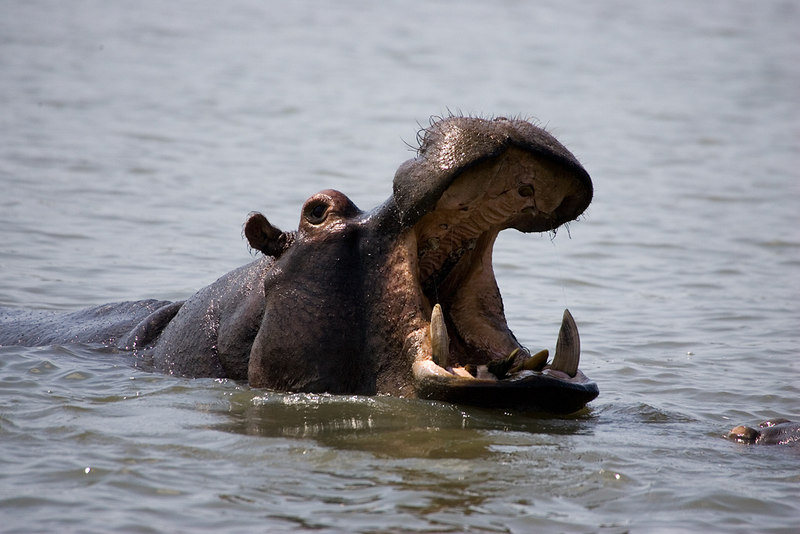 Hippo at St Lucia