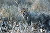 Cheetah cubs, Mala Mala