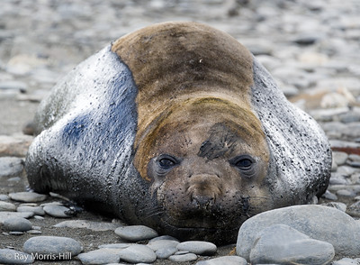 Elephant Seal (female)