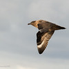 Brown (Falkland) Skua