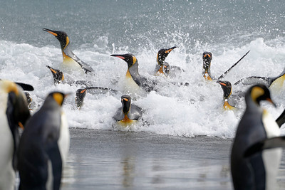 King Penguins leaving the surf at Salisbury Plain, South Georgia.