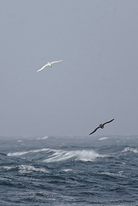 Two Southern Giant Petrels, one a dark morph and the other a light morph, soaring in unison over the waves.