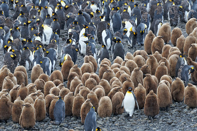 King penguin chicks creching on the beach at Salibury Plain.