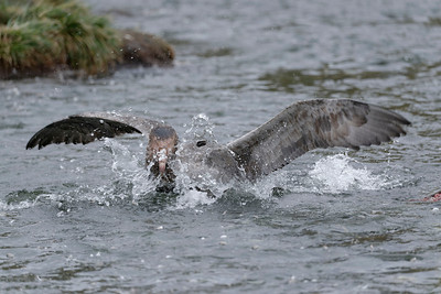 A Southern Giant Petrel wallowing in the creek at Gold Harbour.