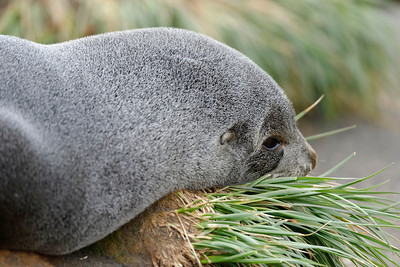 A female Antarctic fur seal having a snooze in the tussac grass, Gold Harbour.