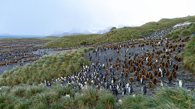 A crèche of juvenile King Penguins with their supervising adults at Salisbury Plain.