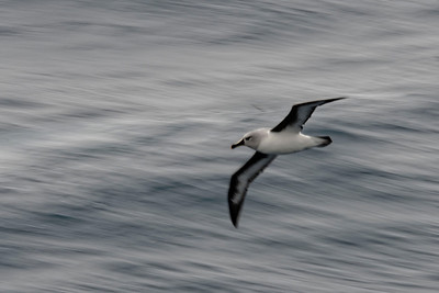 An action shot of the grey-headed albatross.
