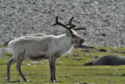 One of the last of the Norwegian reindeer on South Georgia. They were due to be rounded up and culled in december 2012.