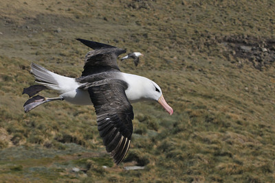 Black-browed albatross soaring above the colony on West Point Island.