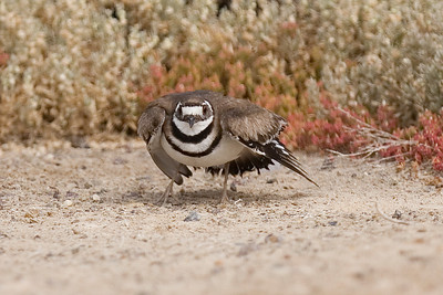 Killdeer, a variety of plover at the South San Diego Bay National Wildlife Refuge, on the Salt Works portion of the refuge.