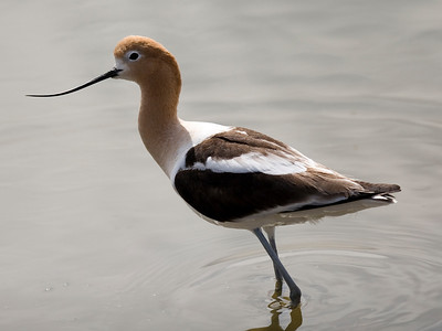 "American Avocet, Chula Vista, CA in a salt concentrating pond at South Bay Salt Works.  The pond has a slight orange tint, as it is hypersaline relative to the ocean and bay.  The orange is from halophillic organisms, which include brine shrimp which the Avocets, Stilts and other shorebirds love to dine on.  The pond is not hypersaline enough to actually precipitate salts yet, it is a few stages and hence ponds away from a ""crystallizer"" pond. Taken 5/07/2008"
