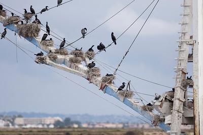 Cormorants nesting on dredge 5/07/2008
