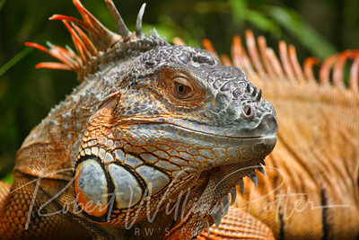 0935-Five-Keeled Spiny-Tailed Iguana