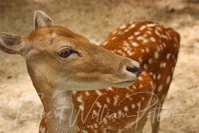 0968-Deer