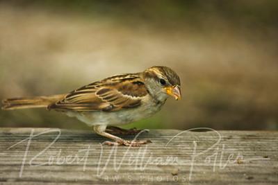 0960-Sparrow