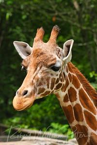 1003-Giraffe