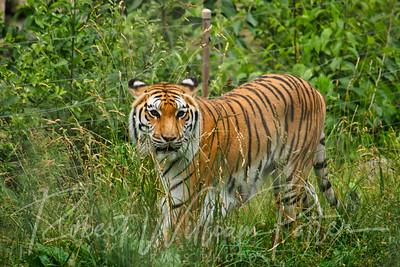 0870-Tiger