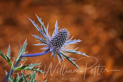 1054-Blue Thistle