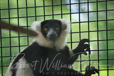 1071-Black and White Lemur