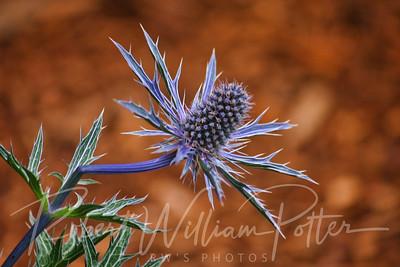 1048-Blue Thistle