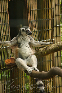 1088-Lounging Lemur