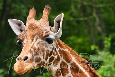 1006-Giraffe