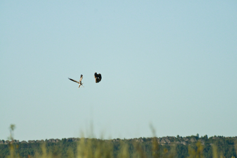 Montagues Harrier_Courtship