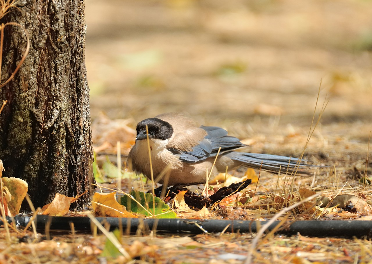 Azure-winged Magpie at Andujar National Park, Andalucia
