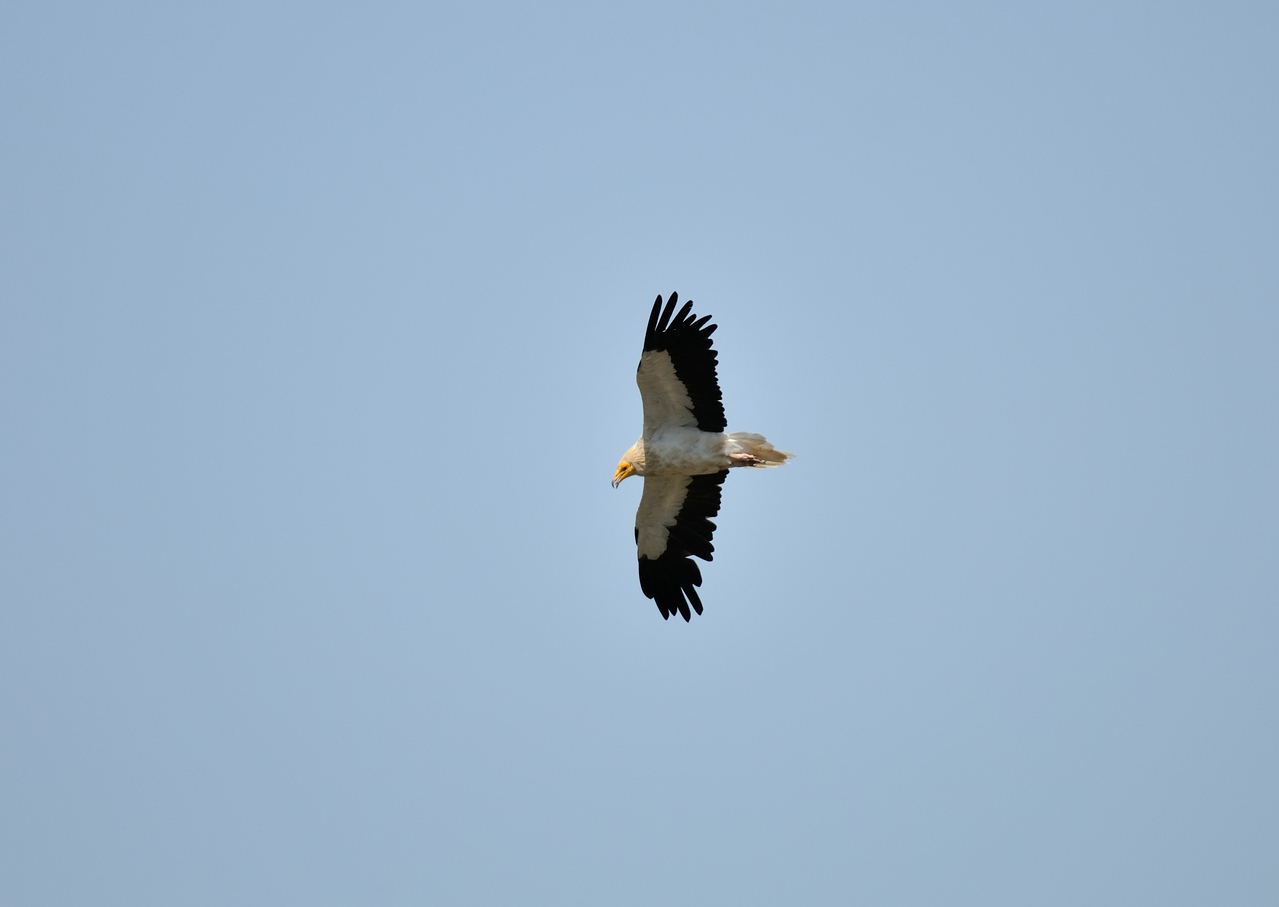 Alimoche- Egyptian Vulture.