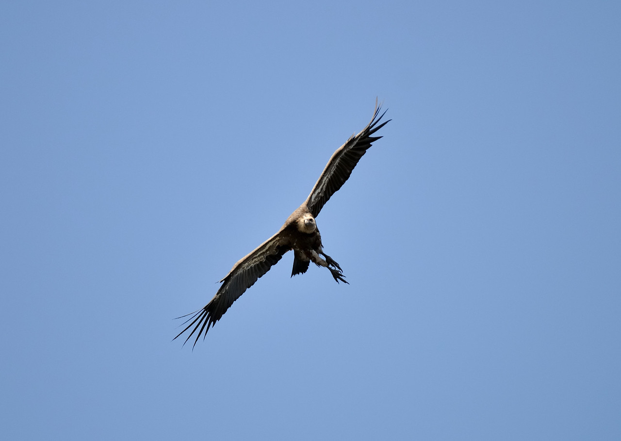 Flaps down - Gear Down!<br /> Griffon Vulture coming in to land.