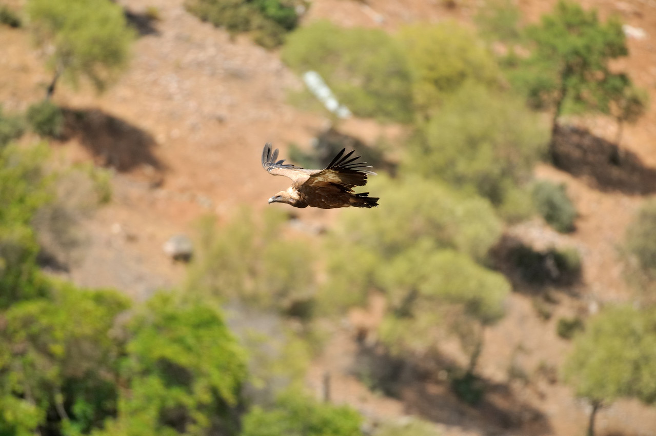 Just Cruisin'!<br /> Griffon Vulture at Monfrague Rock in Extremadura, Spain