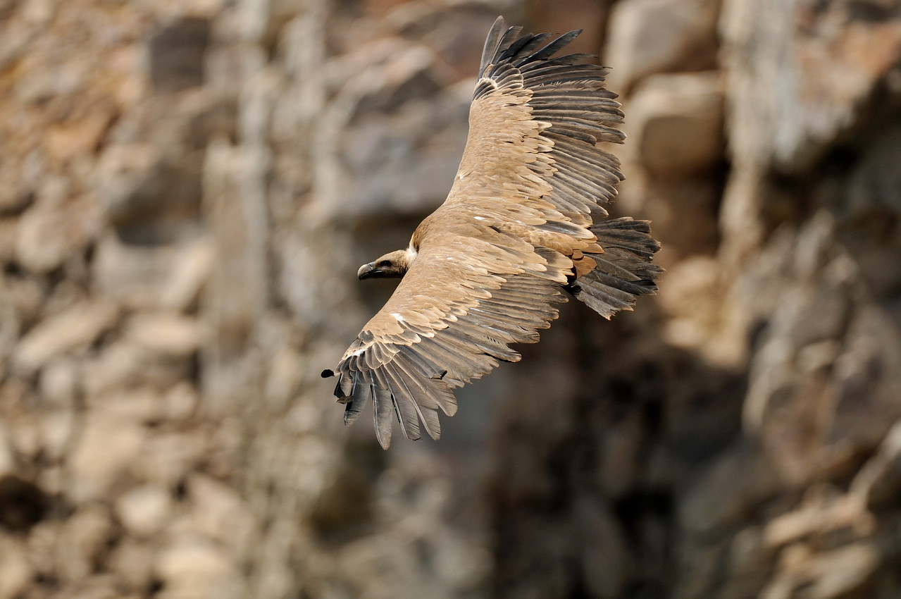 Griffon Vulture at Monfrague National Park, Extremadura