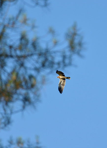 Booted Eagle patrolling his territory in the early morning light of Extremadura, Spain