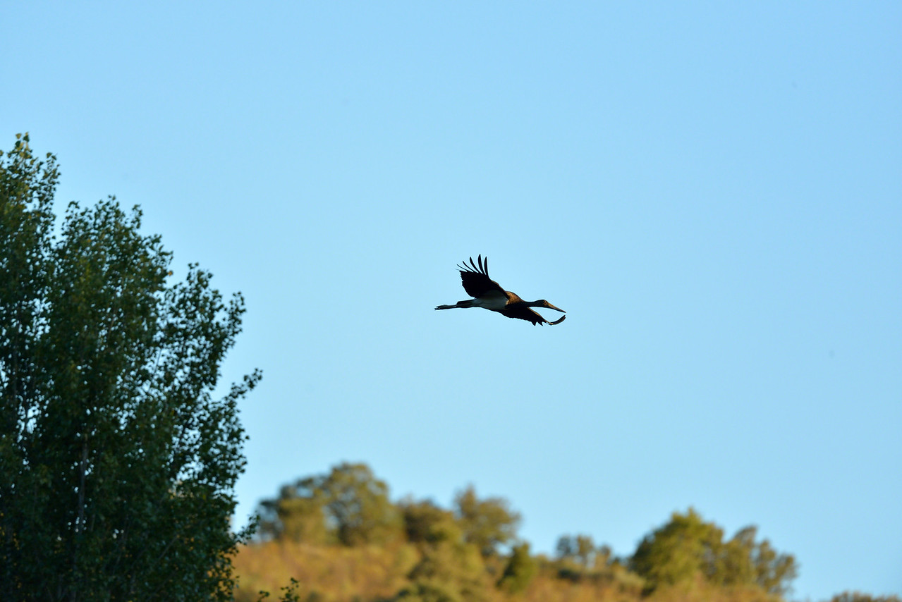 Black Stork, flying past in the early evening. Extremadura, Spain